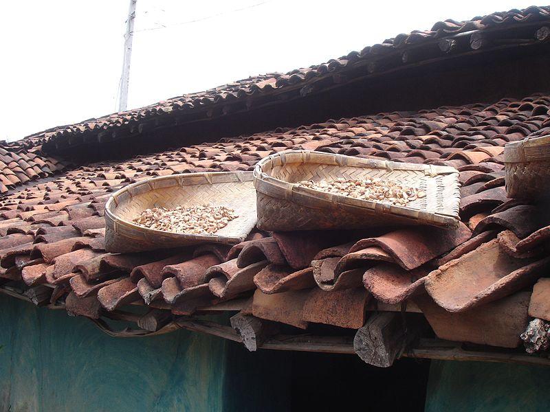 Mahua Drying by Pankaj Oudhia.jpg