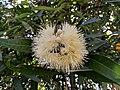 Malamchamba (Syzygium munronii) 33.jpg