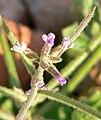 Malcolmia africana 3.jpg