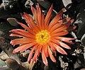 Malephoracrocea.jpg