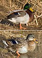 Mallard male female.jpg