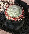 Mammillaria albilanata ssp. oaxacana (9330262278).jpg