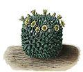 Mammillaria karwinskiana ssp karwinskiana BlKakteenT20.jpg