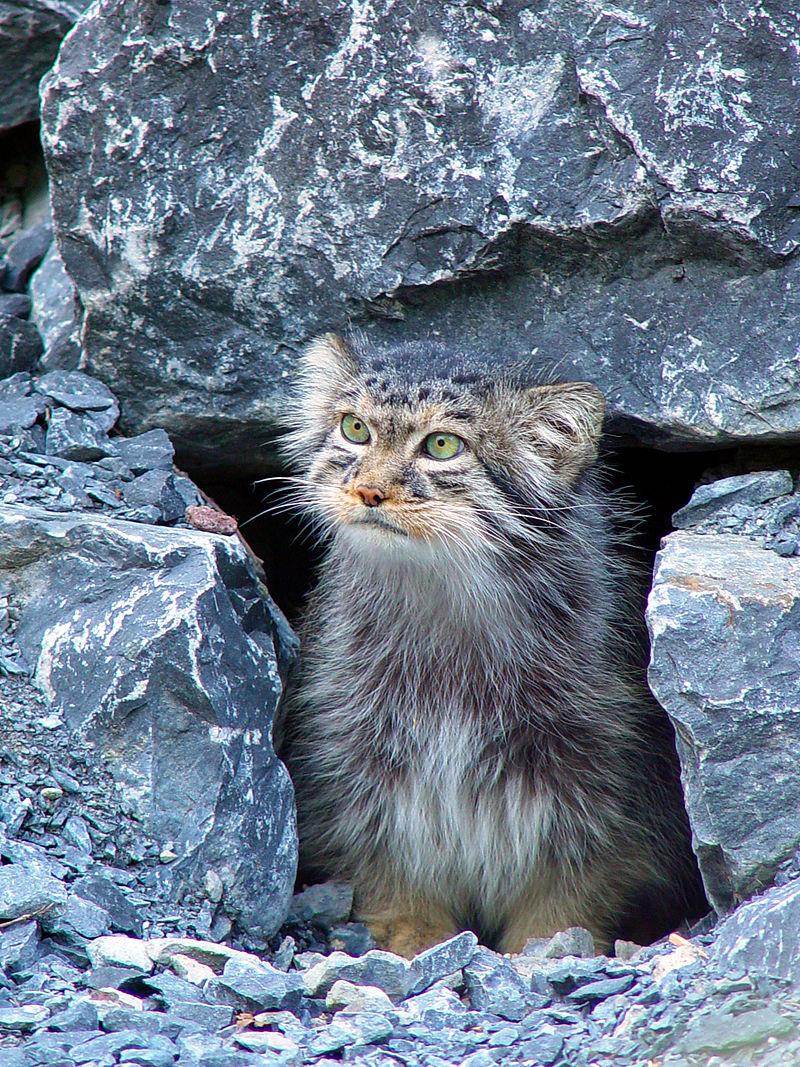 مشاهده گونه نادر گربه پالاس در نیشابور