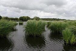 paysage aquatique, avec touffes d'iris d'eau et canaux.