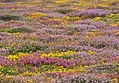 Maritime heath at Trevescan Cliff.jpg