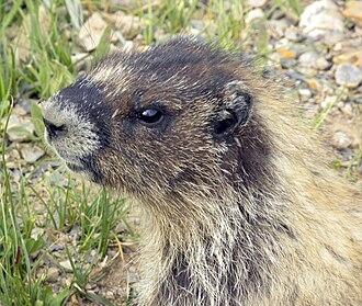 Hoary marmot - Hoary marmot near Helen Lake, Banff National Park, Canada