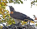 Martial Eagle (Polemaetus bellicosus) - Flickr - Lip Kee (6).jpg