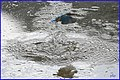 Martin-pêcheur en action (48755291588).jpg