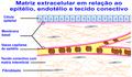 Matriz extracelular.png