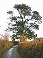 Mature conifer, on the road to Denbury - geograph.org.uk - 1616017.jpg