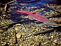 Mature sockeye salmon in Cedar River Watershed, 2000 (21767360964).jpg