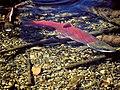 Mature sockeye salmon in Cedar River Watershed, 2000 (21767360964).jpg