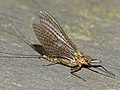 Mayfly (Ecdyonurus torrentis ?) female (14250592950).jpg