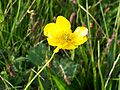Meadow Buttercup (Ranunculus acris).jpg