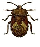 An illustration of Megymenum affine