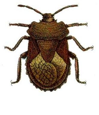 Pentatomoidea - Image: Megymenum affine from CSIRO