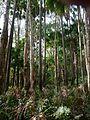 Melaleuca quinquenervia Livistona australis Wyrrabalong NP 4.jpg