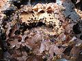Melipona scutellaris nest.jpg