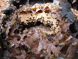 Melipona scutellaris - Melipona scutellaris nest