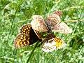 Melitaea athalia Balz 04 (HS).jpg