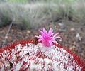 Melocactus flower, Margarita island, Venezuela.jpg