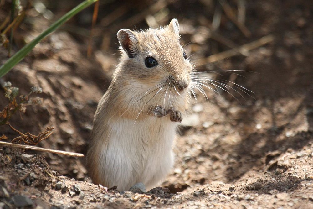 The average litter size of a Mongolian gerbil is 5