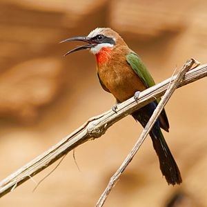 Bee-eater - Merops species such as the white-fronted bee-eater usually have a black bar through the eye.