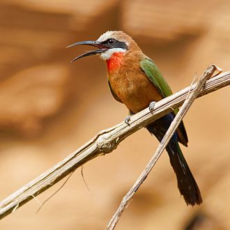 White-fronted bee-eater - Image: Merops bullockoides 1 Luc Viatour