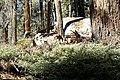 Mineral King, CA, Sparring Buck Deer, 2006 - panoramio.jpg