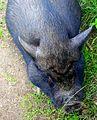 Miniature pig, Minischwein, Minigris Skansen Sweden 2.JPG