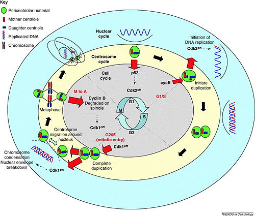 cell cycle checkpoints review pdf