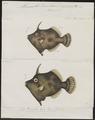 Monacanthus tomentosus - 1700-1880 - Print - Iconographia Zoologica - Special Collections University of Amsterdam - UBA01 IZ15400143.tif