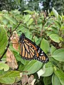 Monarch Butterfly (35876310576).jpg