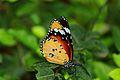 Monarch butterfly india.jpg