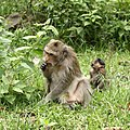 Monkeys in Sihanoukville Province.jpg