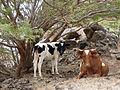 Monte Graciosa-Vaches (2).jpg