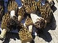 Morchella conica Kiev2.jpg