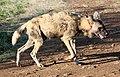 Mosetlha, Madikwe Game Reserve, South Africa (45949725695).jpg