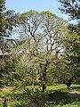 Moss covered tree - May 2012 - panoramio.jpg