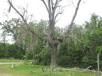 Black Lake (Louisiana) - Moss-laden tree at Bell's Camp