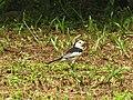Motacilla alba (43793276875).jpg
