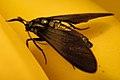 Moth (Lepidoptera) - Simcoe, Ontario 02.jpg