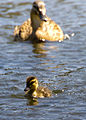 Mother and baby duckling.jpg