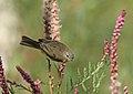 Mountain Chiffchaff (Phylloscopus sindianus) (15710655137).jpg