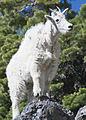 Mountain goat 3 myatt (5489809988).jpg