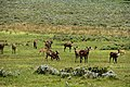 Mountain nyala in the Bale Mountains Nationial Park (1) (28673672733).jpg