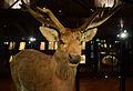 Mus Nat Hist Nat 25022013 Cervus schomburgki 2.jpg