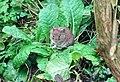 Mus musculus on a Primula vulgarus leaf, Chapeltoun, Ayrshire.jpg