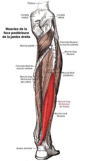 Muscle long fléchisseur de l'hallux